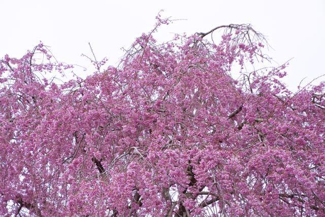 馬籠永昌寺枝垂れ桜