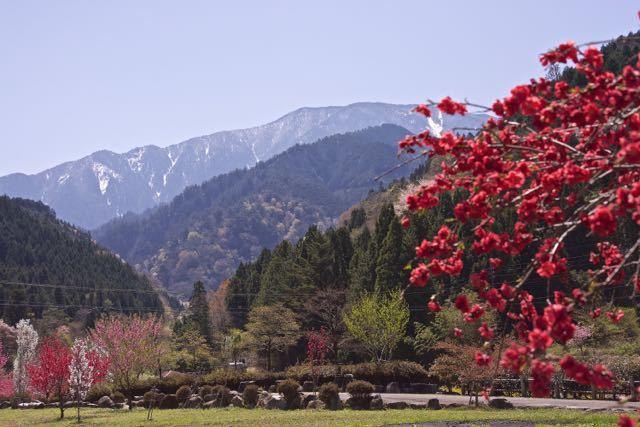 中津川市神坂湯舟沢の花桃満開。