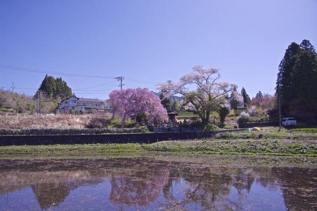 見事に満開、馬籠永昌寺の枝垂れ桜。 border=
