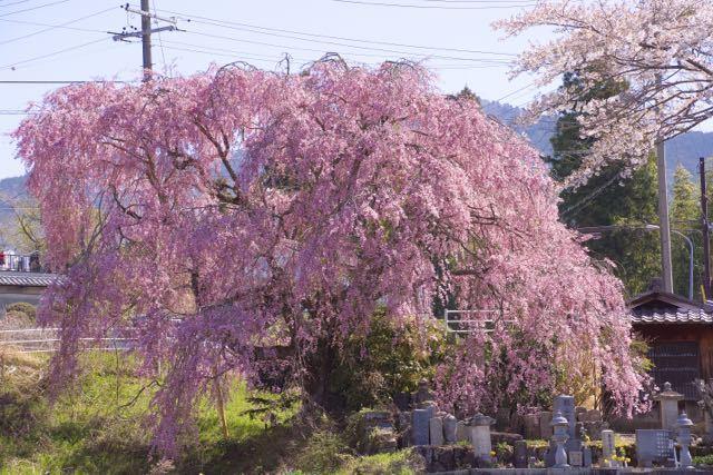見事に満開、馬籠永昌寺の枝垂れ桜。