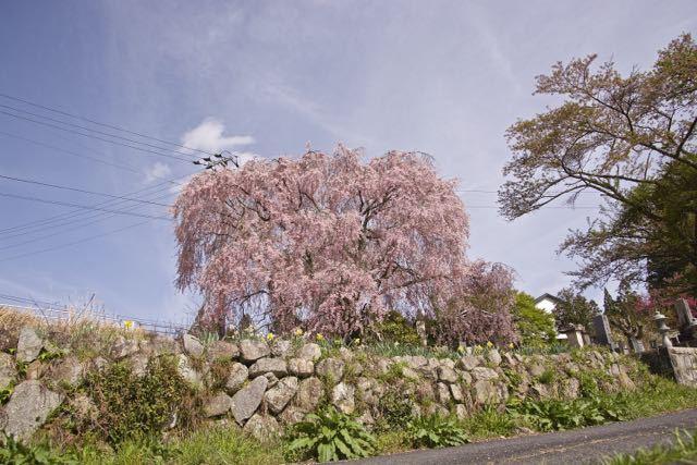 まだまだ満開、馬籠永昌寺の枝垂れ桜。 border=