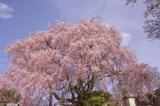 まだまだ満開、馬籠永昌寺の枝垂れ桜。