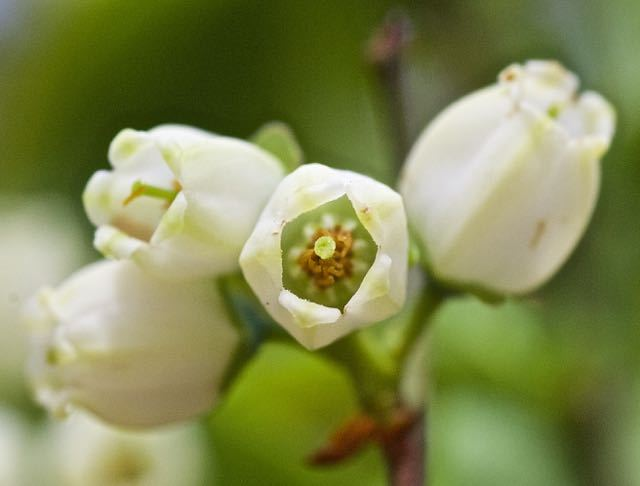 庭のブルーベリーの花がもう咲き始めた。