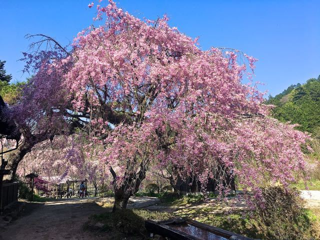 この辺りで一番最後の桜、今年も桜の見納めは妻籠一石栃の茶屋桜。 border=