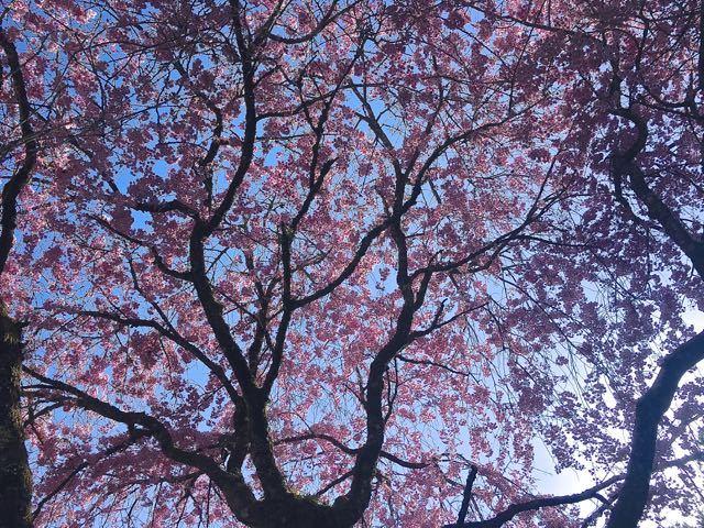 この辺りで一番最後の桜、今年も桜の見納めは妻籠一石栃の茶屋桜。