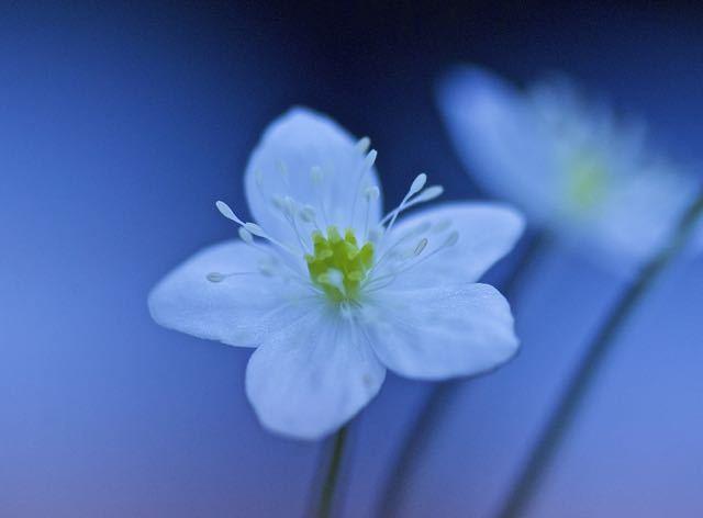 タメ息が出るほど美しい、純白のニリンソウ。