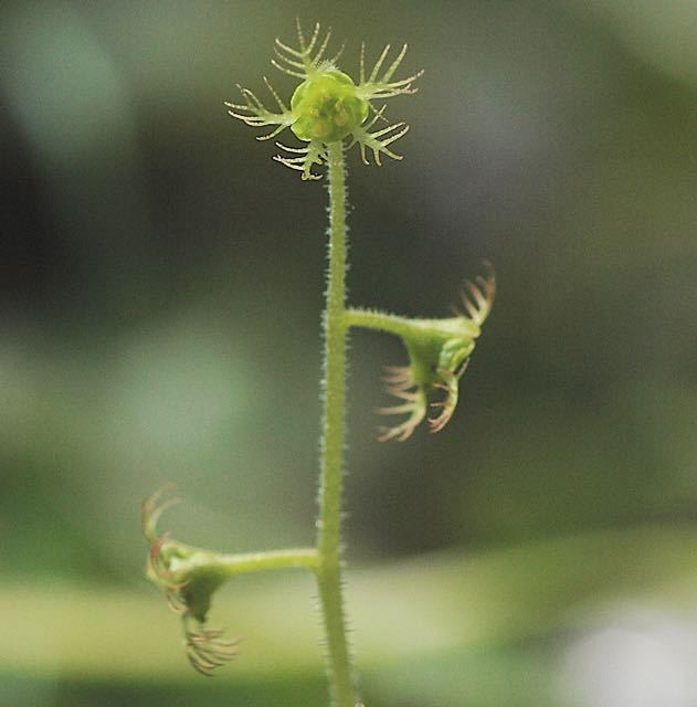 緑のチャルメソウ。