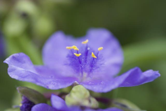 ムラサキツユクサは朝露の降りる頃咲き始める。 border=