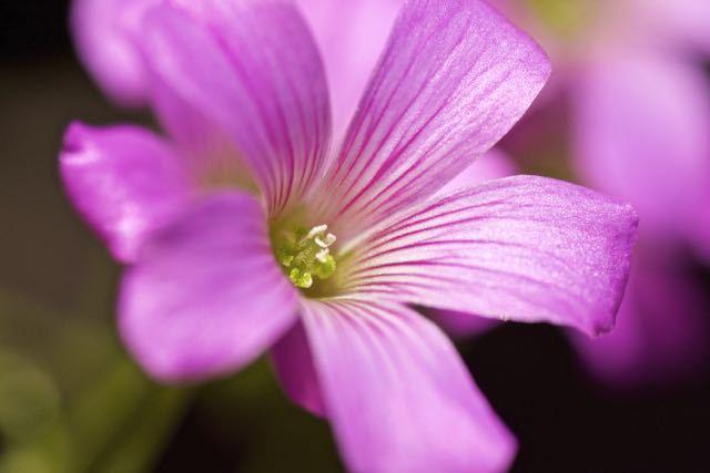 ムラサキカタバミは漢字で紫片喰、別名キキョウカタバミ(桔梗片喰)。