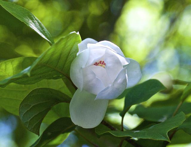 森の貴婦人オオヤマレンゲが咲き始めました。 border=