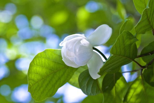 森の貴婦人オオヤマレンゲが咲き始めました。