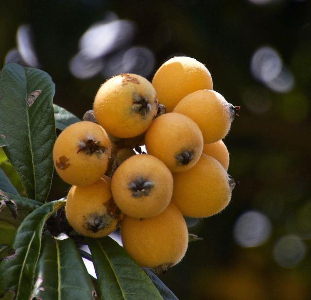 ビワの実が熟しました。 border=