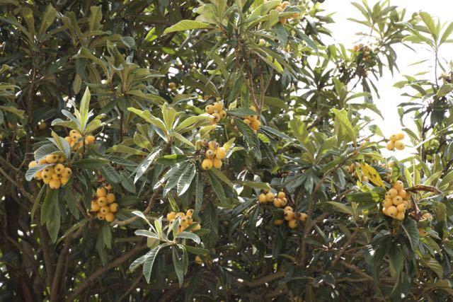 ビワの実が熟しました。