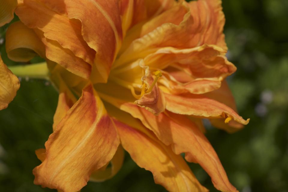 ヤブカンゾウは無茶苦茶な暴れ八重咲き、同じ花姿はありません。