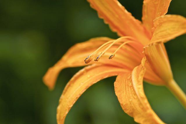 ノカンゾウは六弁花でヤブカンゾウは八重咲き。