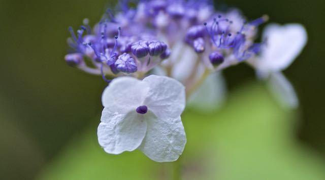 恵那山麓のタマアジサイ(玉紫陽花)