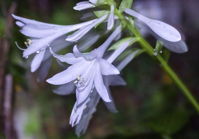 匂いギボウシ、「玉の簪花」が真夜中に咲いた。 border=