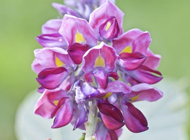 甘い香りのクズの花。