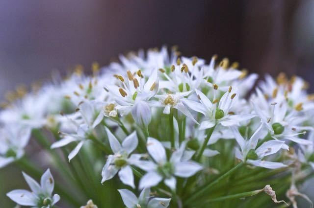 ニラの花、美しい。 border=