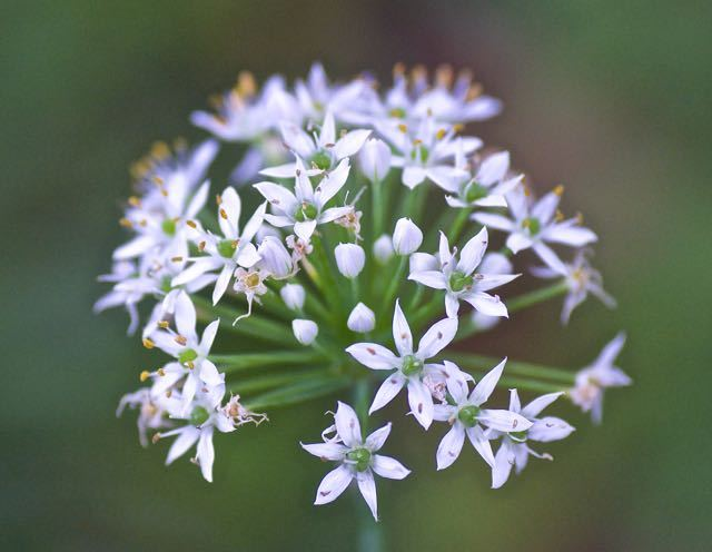 ニラの花、美しい。