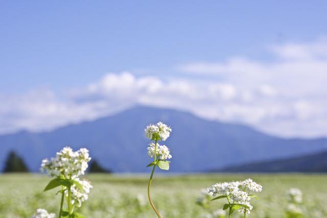 満開です‼︎ 蕎麦の花 ‼︎