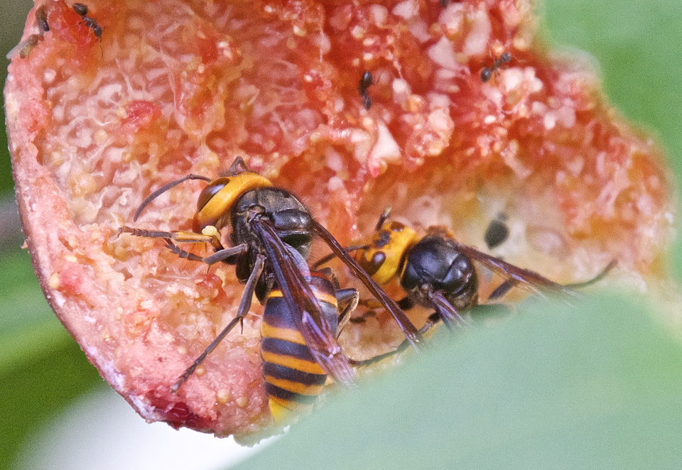 これが限界、恐ろしいのはキイロスズメバチ。