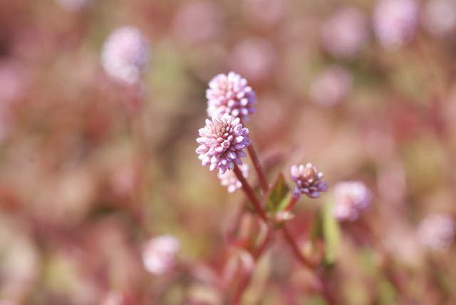ヒメツルソバのピンク色の絨毯
