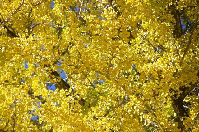 見事に真っ黄色イチョウの黄葉