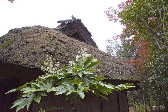 夜がらす山荘 長多喜の離れ「茅の間」ヤツデの花が咲き始めました。 border=