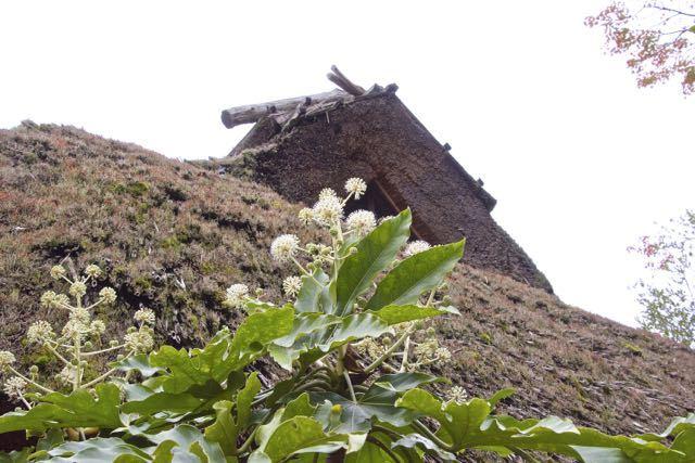 夜がらす山荘 長多喜の離れ「茅の間」ヤツデの花が咲き始めました。