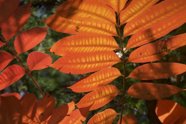 超鮮やかオレンジ色、ハゼノキ紅葉。 border=