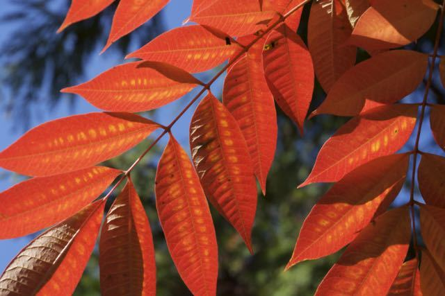 超鮮やかオレンジ色、ハゼノキ紅葉。