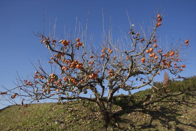 青空に熟し柿、日本の秋。 border=