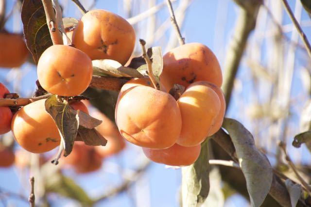 青空に熟し柿、日本の秋。