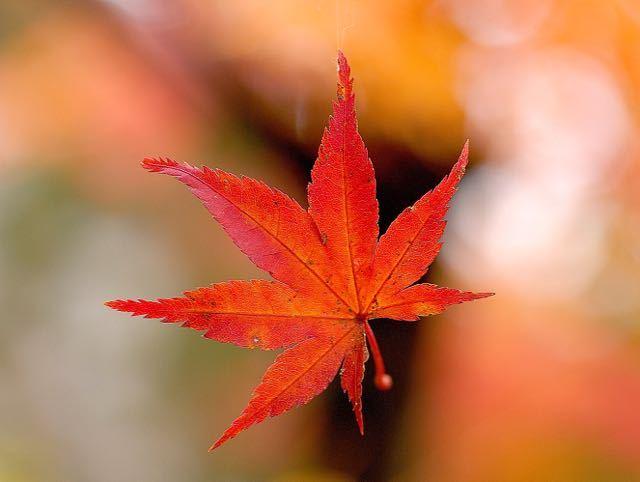 本日 11月28日はイイニワ「いい庭」の日、東濃で一番の紅葉の庭、料理旅館「長多喜」
