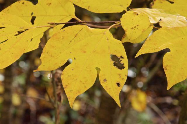 黄葉が美しい、ユニークな形のシロモジの葉。 border=