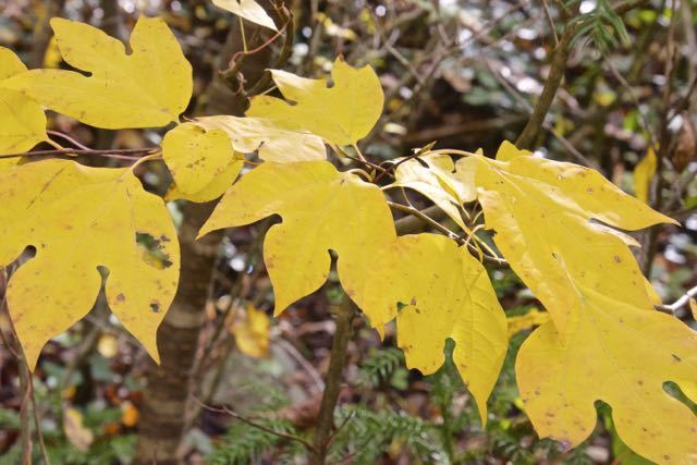 黄葉が美しい、ユニークな形のシロモジの葉。
