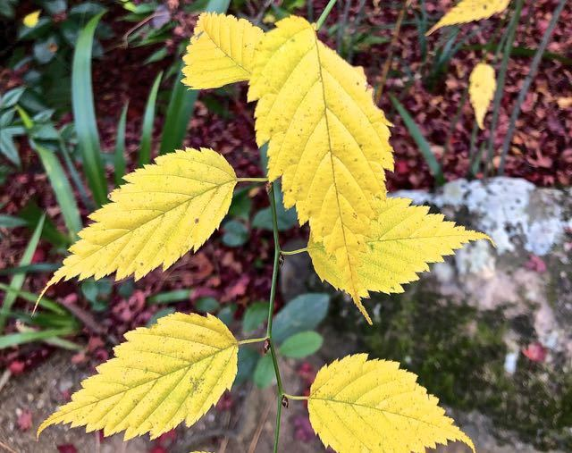 ヤマブキの黄葉