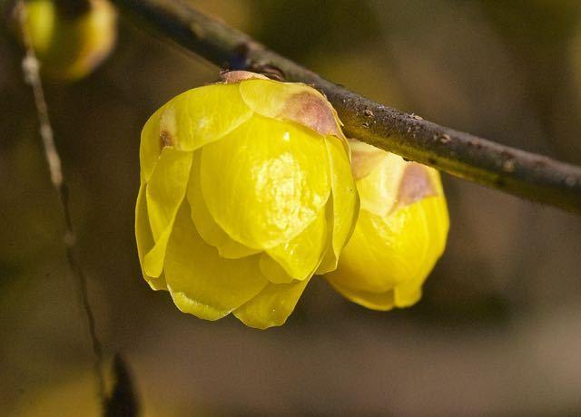 もうロウバイが咲き始めました、夜がらす山荘長多喜。 border=