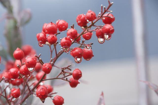 雨上がりの赤南天、中津川中央公民館。 border=
