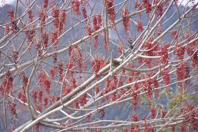 冬空を真っ赤に彩る付知峡のイイギリの実。