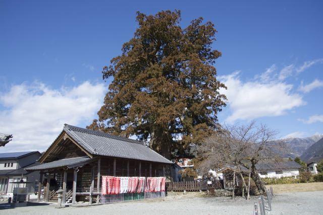 加子母大杉に行って来ました。