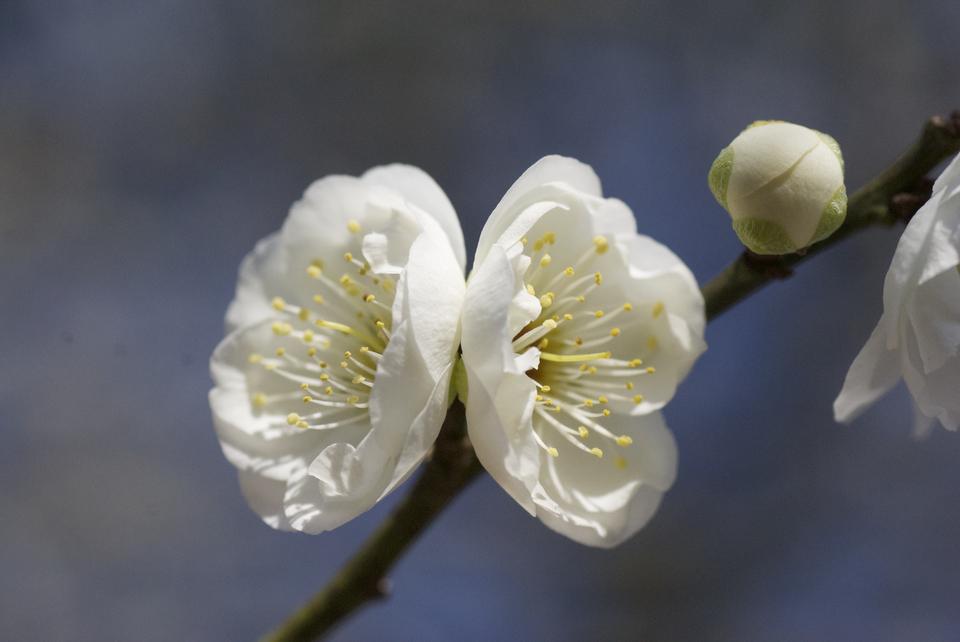 女夫梅が咲いてます。 border=
