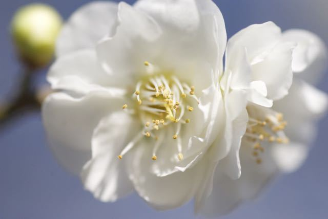 女夫梅が咲いてます。