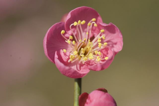 馬籠宿の桃色梅が満開です。
