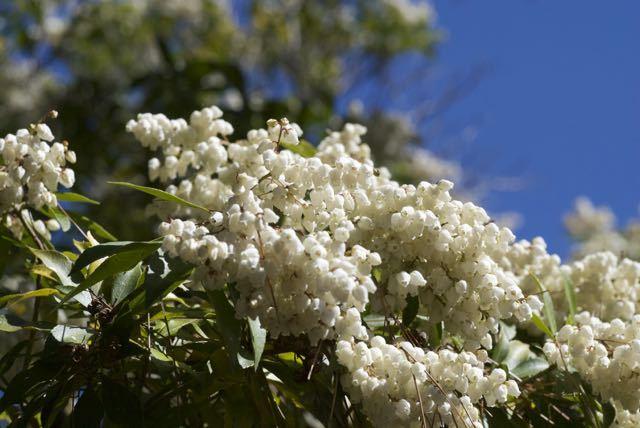 夜がらす山荘 長多喜のアセビの花が咲き始めました. border=