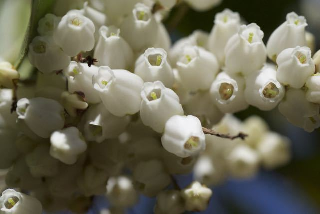 夜がらす山荘 長多喜のアセビの花が咲き始めました.