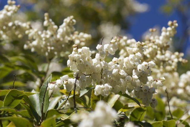 夜がらす山荘 長多喜のアセビの花が咲き始めました。 border=