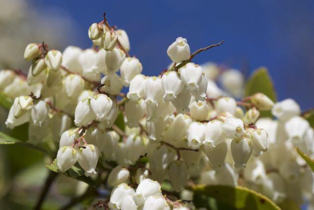 夜がらす山荘 長多喜のアセビの花が咲き始めました。