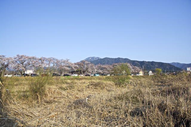 本町公園の桜並木と恵那山、満開近し。